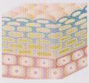 ③角層全体にヒアルロン酸が充満して、気になる目元・口元にふっくらとした充実のハリ感をもたらします。